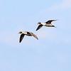 Pintail drakes, Birdsong Creek