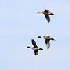 Pintails, Birdsong Creek