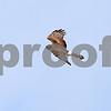 Marsh Hawk cruising over 74 Field, Camden Bottom