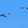 these mallards know exactly where they are going and no hunters are around to dissuade them, Birdsong Creek