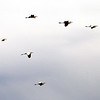 Great White Egrets flying upriver at Kentucky Lake