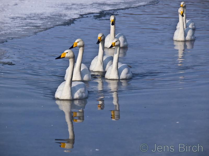 Wooper swans in lake Kussharo