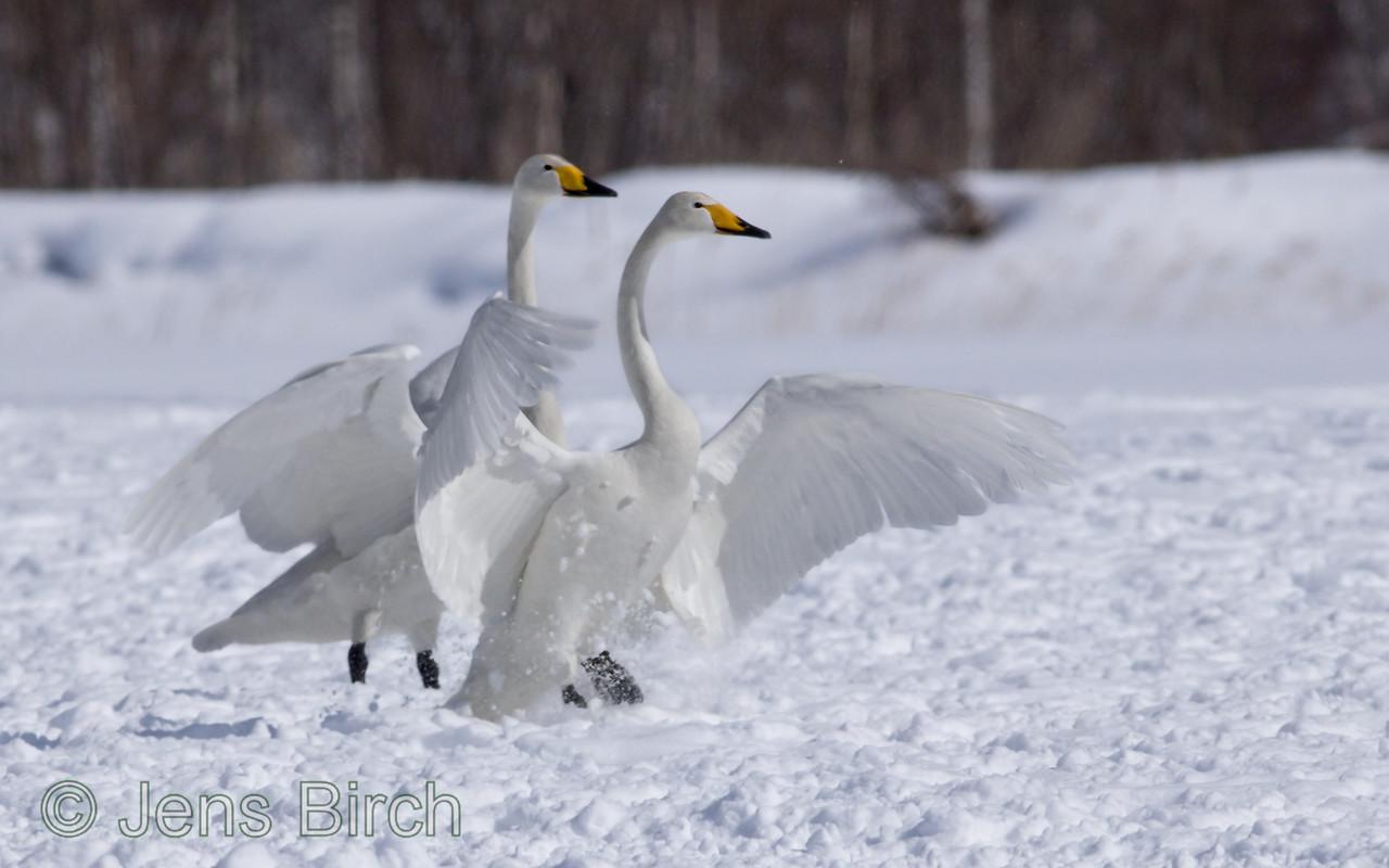 Wooper swans (sångsvanar) (Cygnus cygnus) .