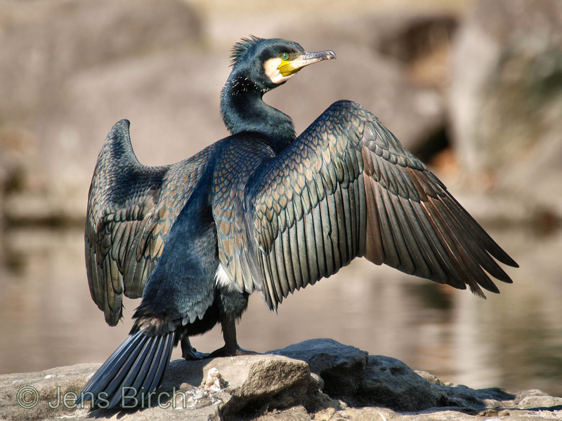 Great cormorant (storskarv) (<i>Phalacrocorax carbo</i>)