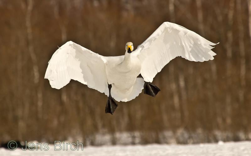 Wooper swan (sångsvan) (Cygnus cygnus) landing.
