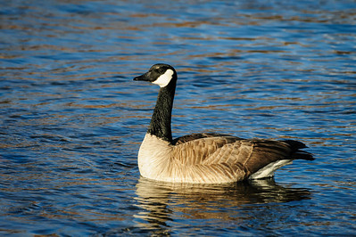 Canada Goose-2291, Denver, CO