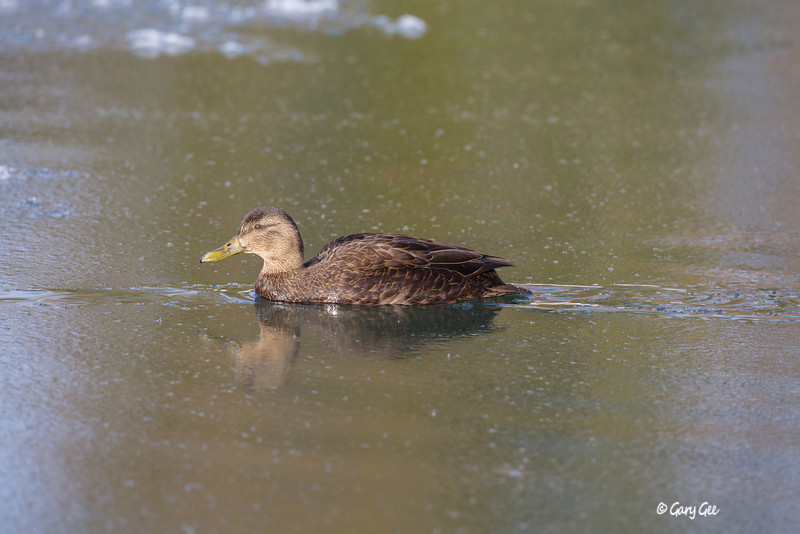 Black Duck Female