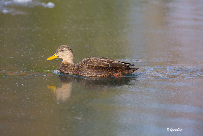 Black Duck Male
