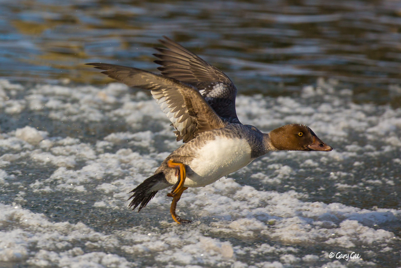 Common Goldeneye Female with icy water takeoff