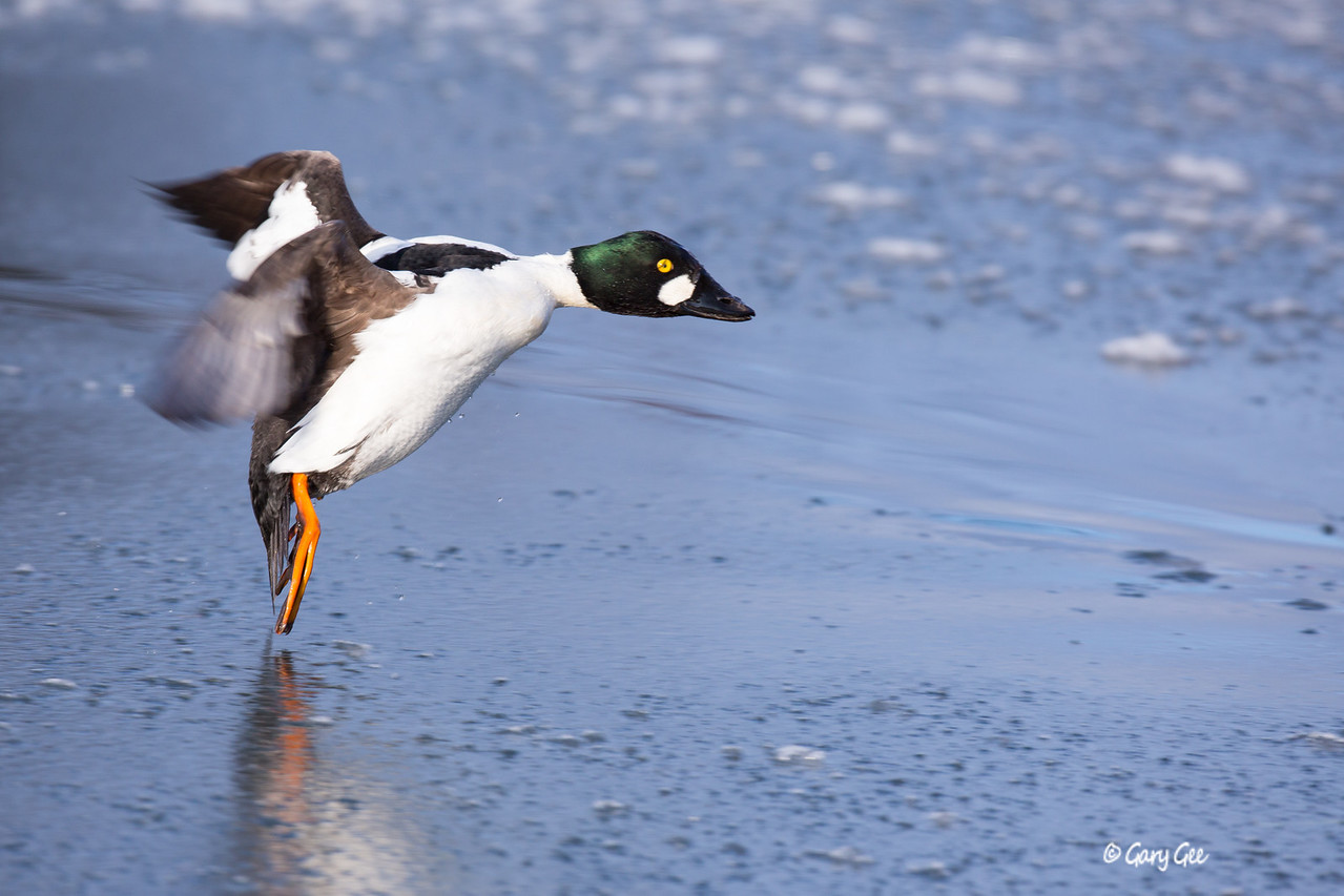 Oh no!!!! all ice!!!!!Common Goldeneye Male