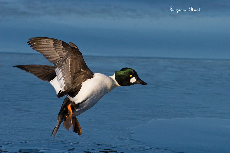 Goldeneye coming for an icy landing .