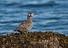 Female Harlequin Duck.
