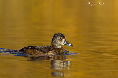 Ring-Necked Duck , Female .