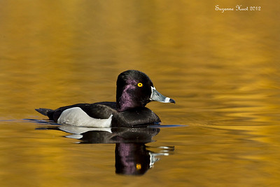 Ring-Necked Duck , Male .