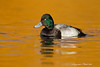 Lesser Scaup . Male .