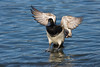 Lesser Scaup landing on water.