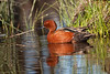 cinnamon teal in habitat