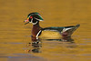 Wood duck on Golden Pond.