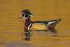 Wood duck on Golden Pond.