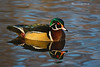Wood Duck reflection.