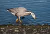 Bar-Headed Goose. This goose is native to Asia and is probably an escapee from somewhere .He spent quite a few days at Esquimalt  Lagoon on Vancouver Island before heading off to other pastures..<br /> The Bar-headed Goose is one of only a couple of birds that can actually cruise at an altitude of   29000 feet above sea level.That is above the height of Mount Everest.