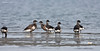 Flock of Brant's Geese coming ashore to eat the Eel Grass that is  found at low tide close to shore.