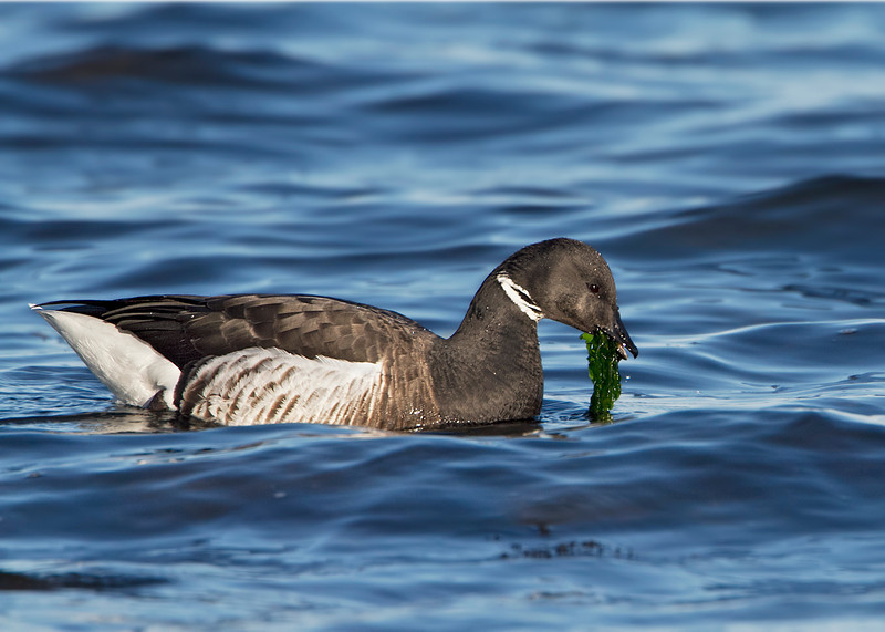 Brant's Goose with sea lettuce.