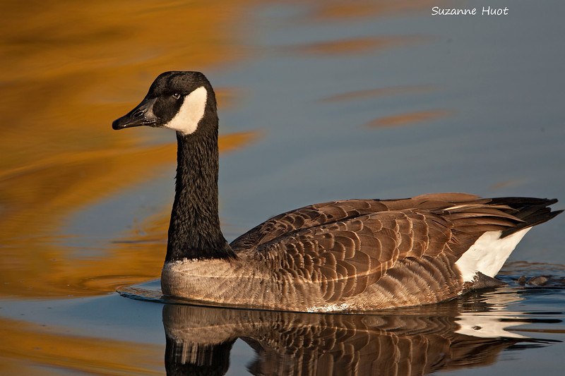 Canada Goose in Golden light.