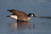 Canada goose walking on icy Lagoon.
