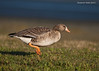 White-fronted goose.