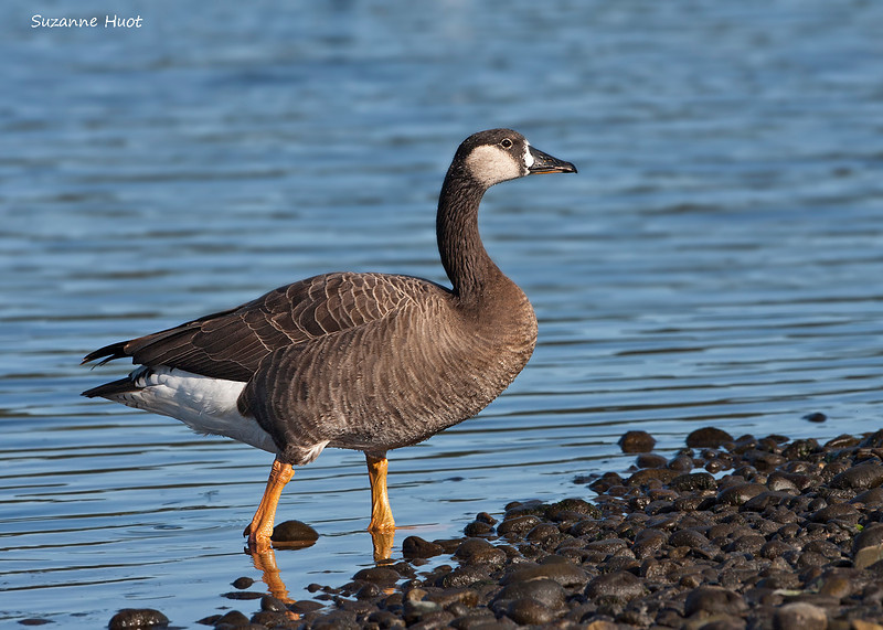 Possible hybrid cross between a White-fronted Goose and a Canada Goose,<br /> Photographed on the Sidney B.C . waterfront in 2009.