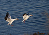 Snow Geese landing on the Fraser River.