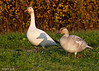 Snow Geese Adult with juvenile.