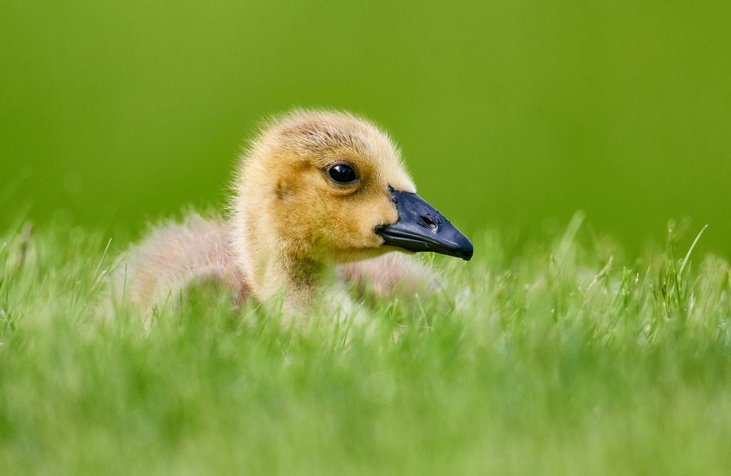 Goslings are growing