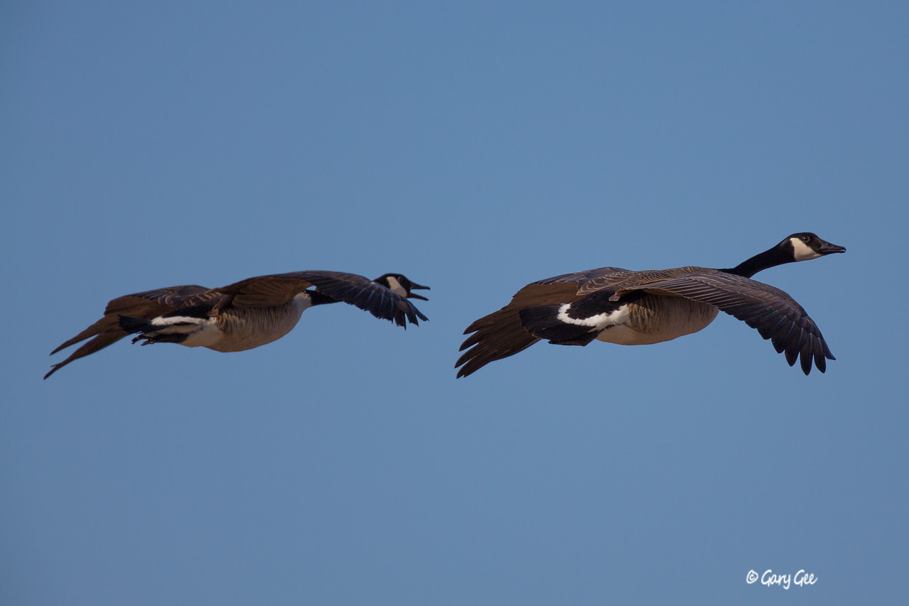 Canada Goose Pair in Flight