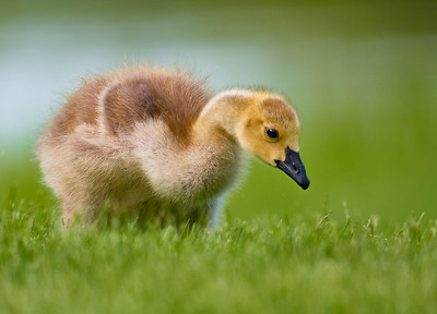 Goslings are growing