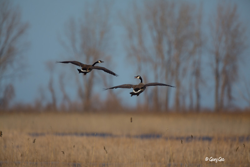 Canada Goose Pair setting up for landing
