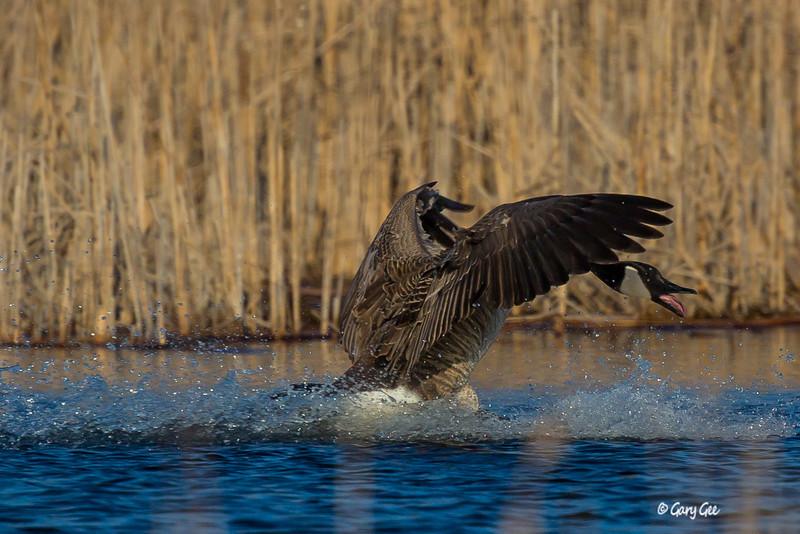 Canada Goose Splash Landing