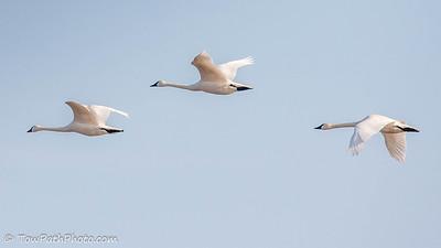 Truumpeter Swan
