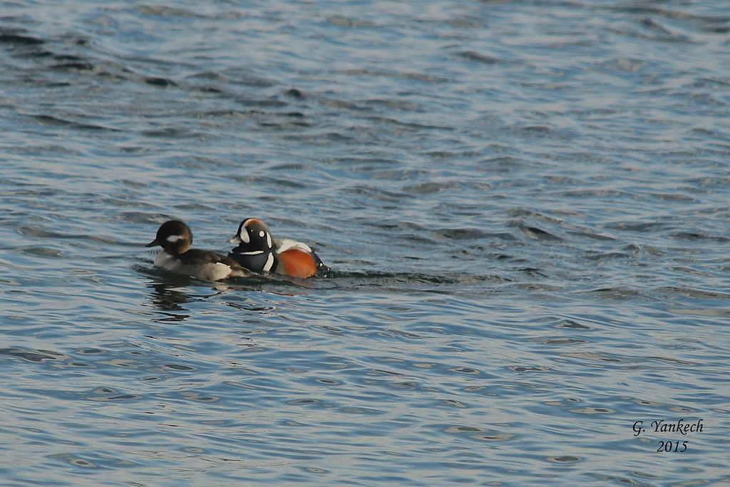 Lake ontario shoreline, Toronto West, Ontario<br /> <br /> (left) female Bufflehead<br /> (right) Male Harlequin Duck