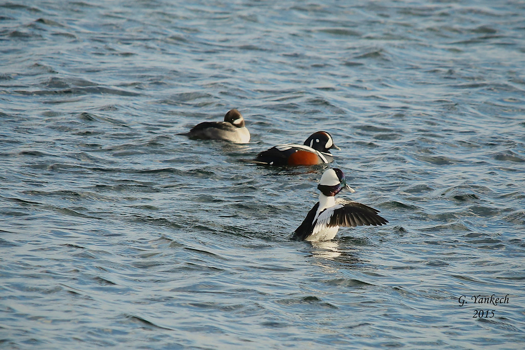 Lake ontario shoreline, Toronto West, Ontario<br /> <br /> (top) Female Bufflehead<br /> (middle) Male Harlequin Duck<br /> (bottom) Male Bufflehead
