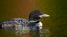 Loon starting to molt