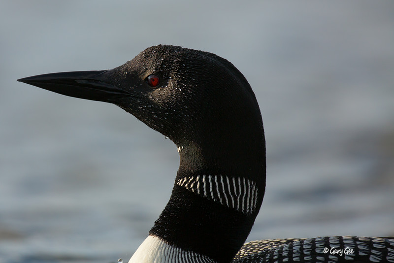 Loons-3-39