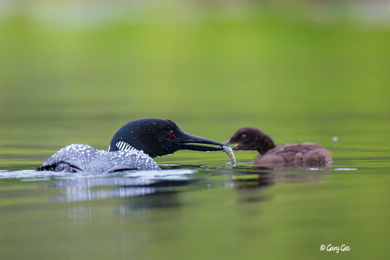 Loons-1
