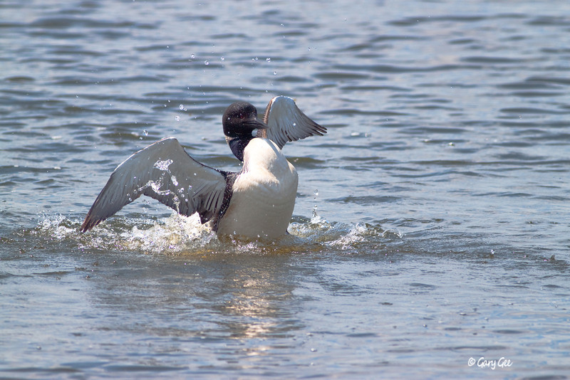 1Common Loon6