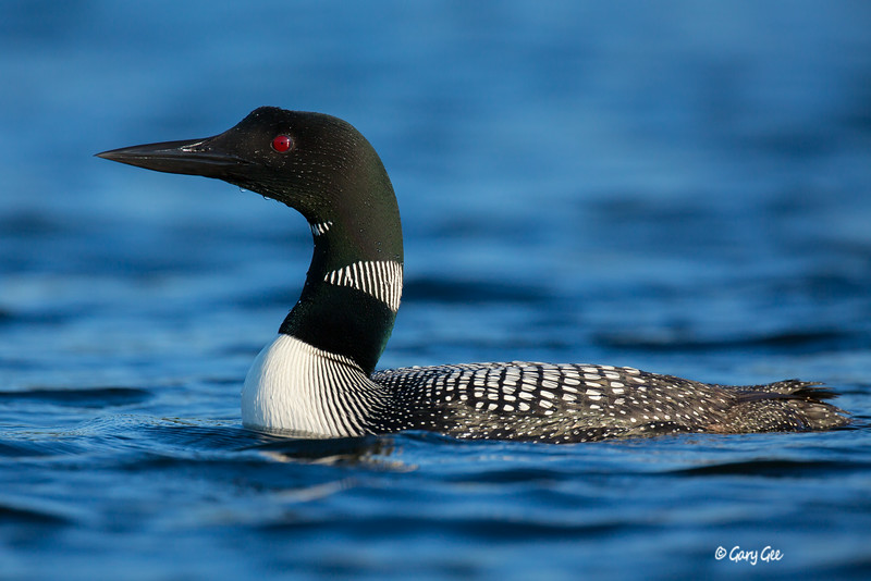 Loons-3-9