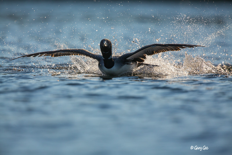 Loons-3-30