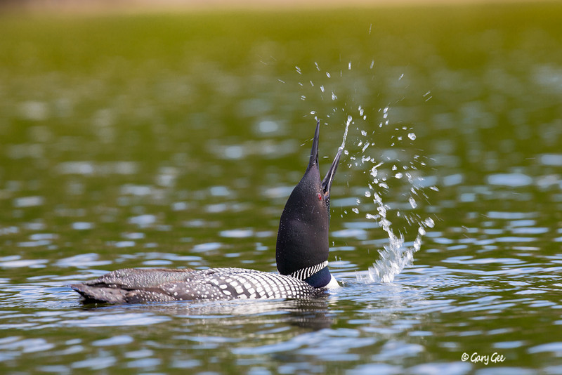 Common Loon 5
