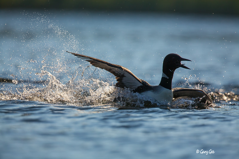 Loons-3-33