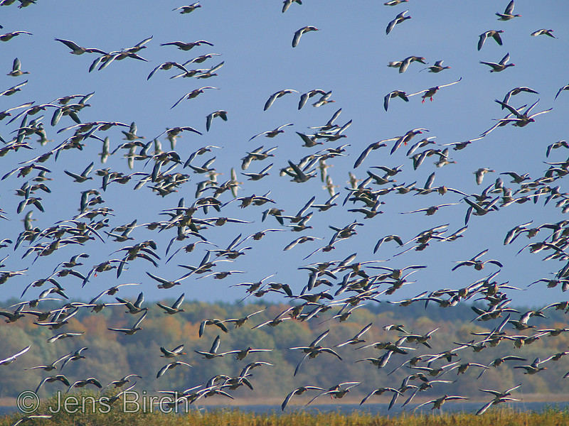Greylag geese (Anser anser) blasting off to confuse a White-tailed eagle (Haliaetus albicilla). <br /> Lake Roxen, Sweden, October 2008.